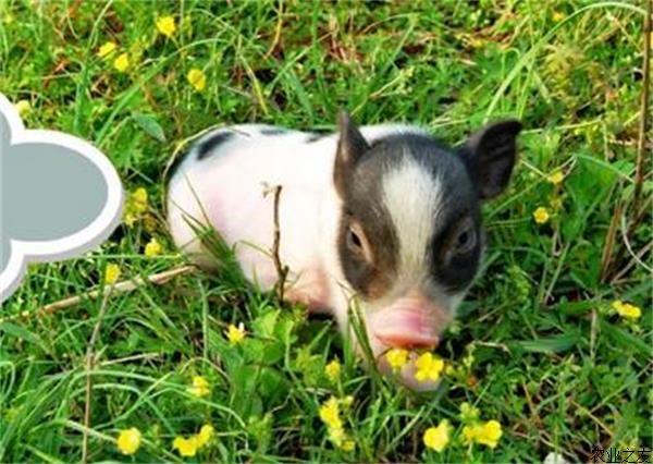 四川:生猪复产须迈仔猪不足、用地和环保限制三道坎 怎么办