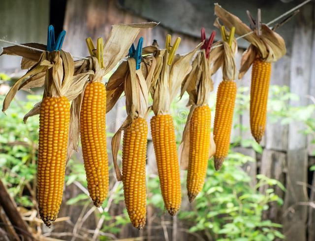 600万吨拍卖玉米价格终有所回落 30万吨深加工项目8月底投产