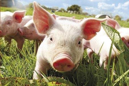 贵州剑河:深山里的致富路 贫困户养猪奔小康