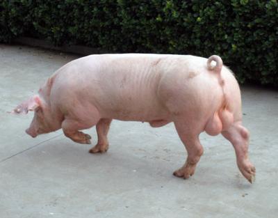6月24日全国各地区种猪价格报价表,山东地区的种猪价格持续保持万元每头!