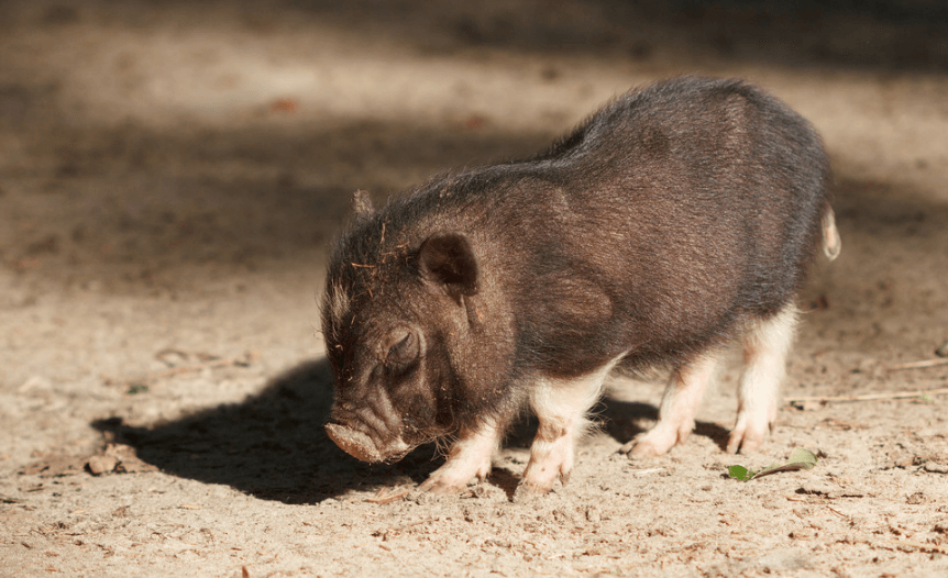 6月24日全国20公斤仔猪价格表,吉林省土杂猪价格偏高,均价约100元/斤!