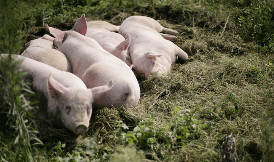 6月24日全国10公斤仔猪价格表,仔猪价格低至千元内的省市增多,要开始回调!