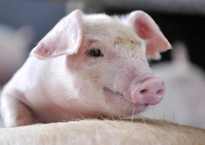6月24日全国土杂猪生猪价格行情涨跌表,回涨?东北地区全面上涨!