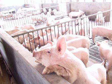 6月24日全国内三元生猪价格行情,端午提振明显,全国保持小幅上涨!