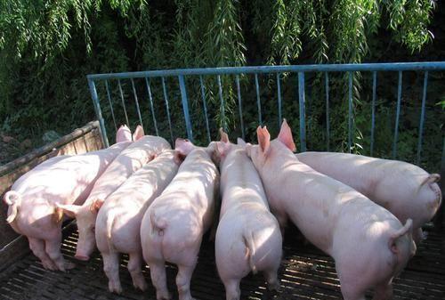 地塞米松能治啥猪病?别乱用,这些原则咱们要了解