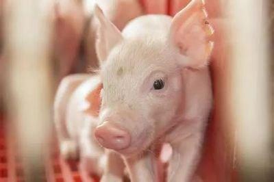 6月25日全国20公斤仔猪价格表,广东惠东20公斤外三元仔猪价格为2800元/头!
