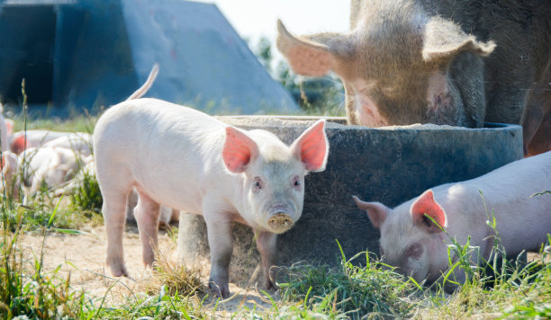 6月25日全国外三元生猪价格表,猪价涨停,全国均价开始下滑!