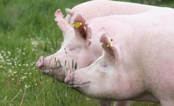 利尿排毒药在仔猪水肿病治疗中的应用
