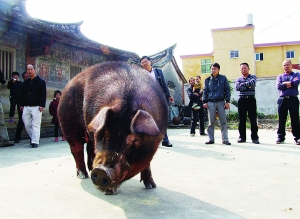 《半月谈》刊文:这个县生猪产业何以大规模发展?