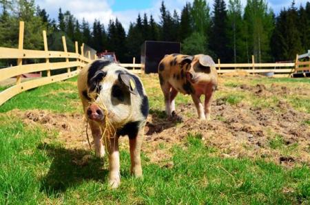 非洲猪瘟状态下如何保证猪场的消毒效果!