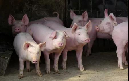 拓展知识:我国小型猪的培育及利用现状!