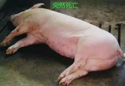 吃得好、喝得好、睡得好的正常猪,突然猝死到底发生了什么?