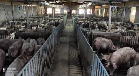 农发行广东省分行营业部再投4.5亿元 支持生猪稳产保供