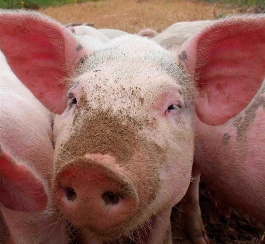 育肥猪长得慢?这4个原因成了罪魁祸首!
