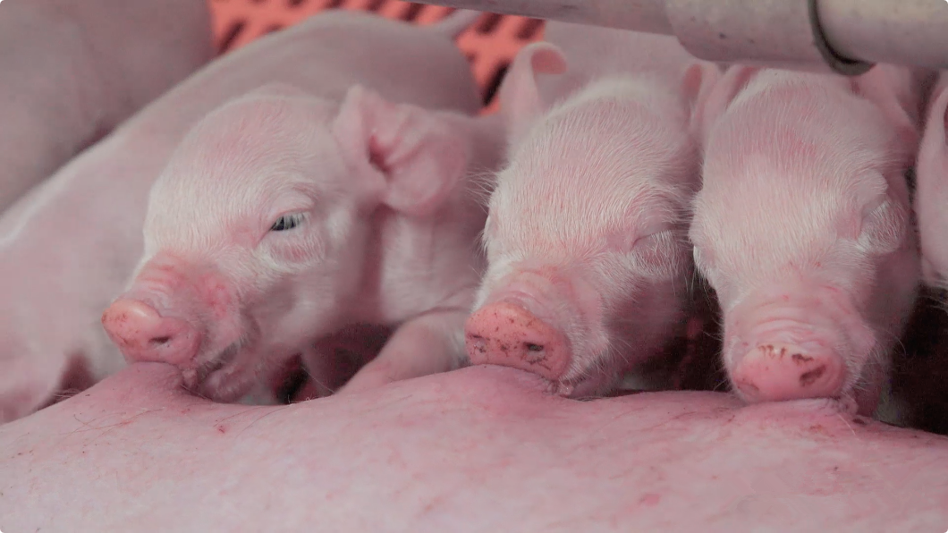 国外试验表明1日龄仔猪注射猪蓝耳病(PRRS)疫苗可产生长时间的可靠免疫应答