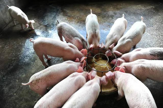 循环经济的模式:中国养猪业的最佳模式