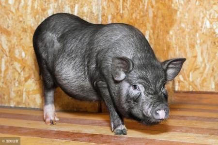 6月29日全国各地区种猪价格报价表,河北地区局部种猪价格上涨了200元!