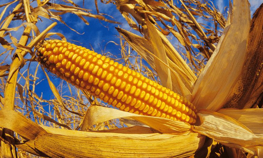 """政策调控持续干预 玉米价格或""""阶段性见顶"""""""