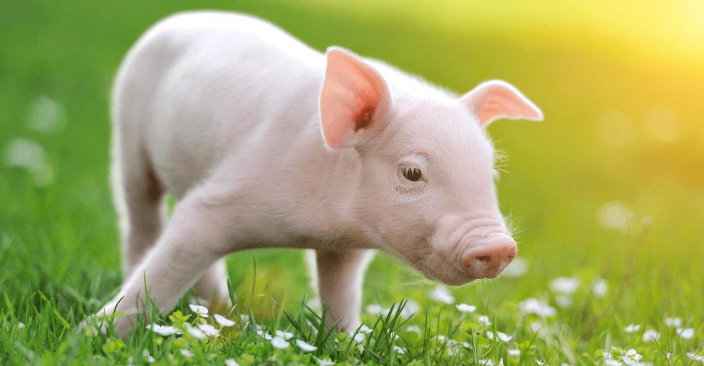这个替抗方案来自每年超10万窝的动物实验实证!——禁抗前夕,双胞胎献上无抗葵花宝典