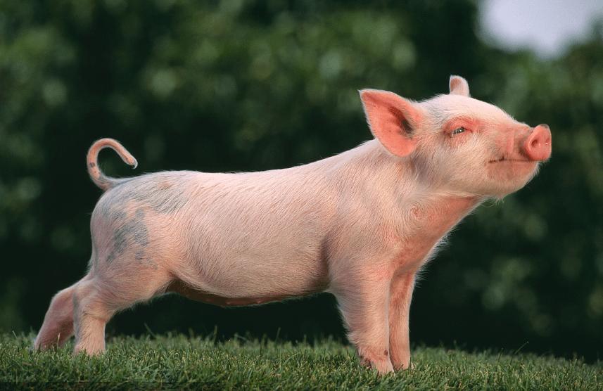 最强猪周期调查:一头猪狂赚三千 农校生月薪2万仍疯抢 暴利还有两三年?