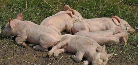 仔猪消化不良性腹泻形成的原因及症状,如何预防?
