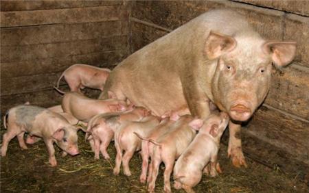 母猪低温症怎么治疗?母猪低温症是什么原因?