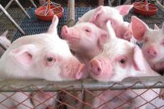 妊娠母猪阶段脐带功能性调理对于初生仔猪的意义!
