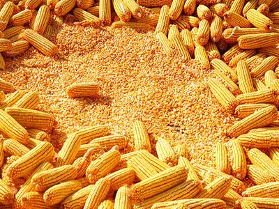 7月1日全国玉米价格行情,政策再度加码,玉米要上涨将被抑制?