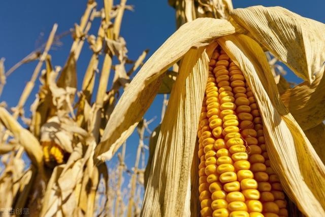 玉米价格小幅下调,玉米市场要降温了?