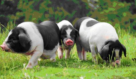 四川仁寿:生猪代养户为何越来越多