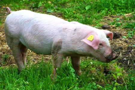 海口琼山区推动生猪产业加快发展 今年规模养殖产能将提升150%以上