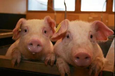 农发行靖西市支行投入 2000万元贷款支持生猪产业