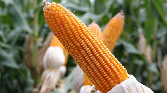 """临储玉米累计投放1988万吨,玉米价格却未能""""降温"""",原因何在"""