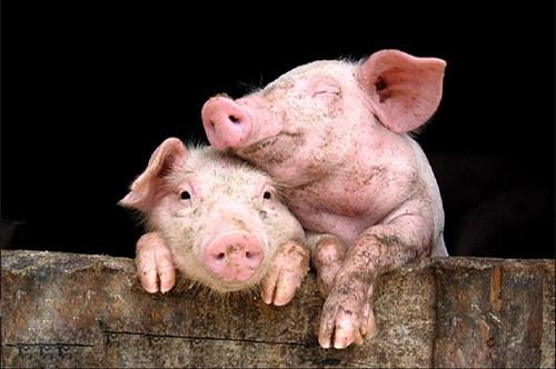 """白手起家的""""猪倌"""",养殖路上奔小康!"""