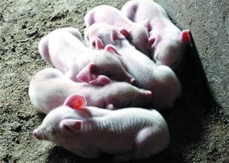 7月4日全国20公斤仔猪价格表,各地仔猪涨跌不一,南北仔猪差价较大!