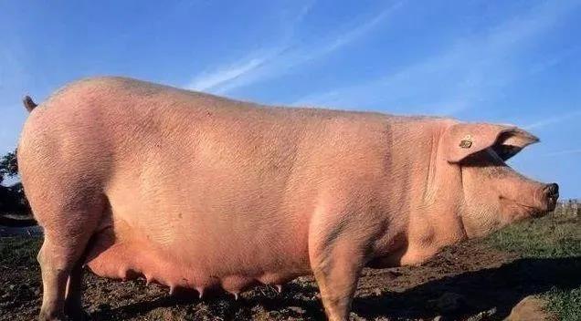 建立一个千头养猪场需要多少钱?农民为您计算账目