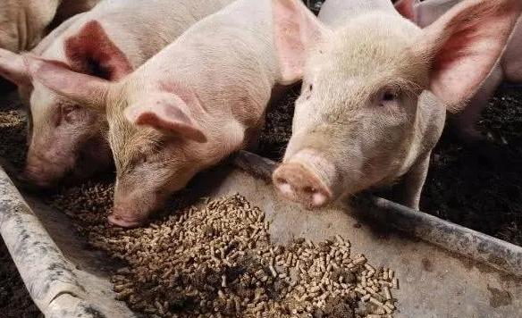 湖南桑植:东方希望集团来桑考察现代化生猪养殖建设项目