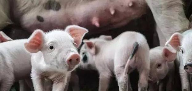 猪圆环病毒不同基因型在环境中存在不同,跟免疫有关吗?