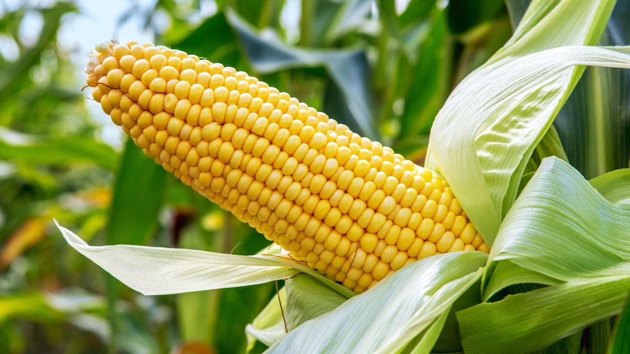 7月5日全国玉米价格行情,要跌?多空博弈,保持阶段性上涨!