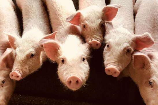 农发行北仑区支行投放2300万元 支持生猪产业链发展