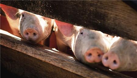四川内江:本月底,内江将建成144个养猪场
