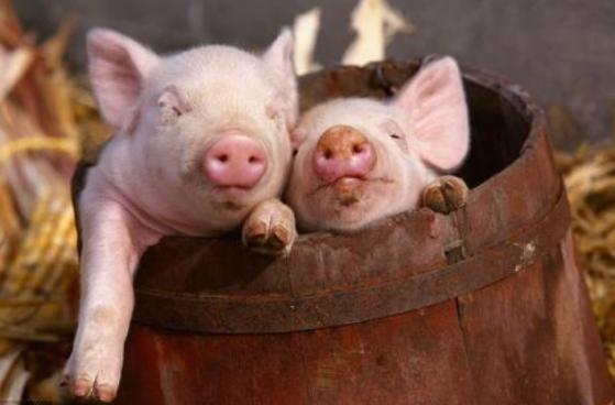 7月6日全国10公斤仔猪价格表,猪价继续涨,仔猪价格随波逐流!