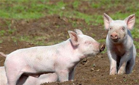 7月7日全国20公斤仔猪价格表,局部高企,整体稳定!
