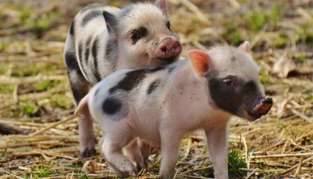 7月7日全国10公斤仔猪价格表,上海虹口10公斤外三元仔猪价格高达255元/公斤!