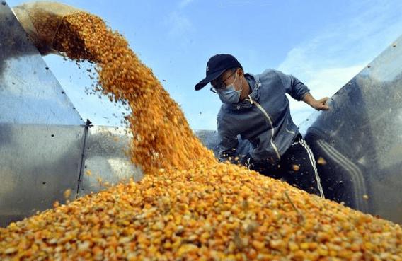 玉米价格疯狂上涨!缺口翻倍达2500万吨