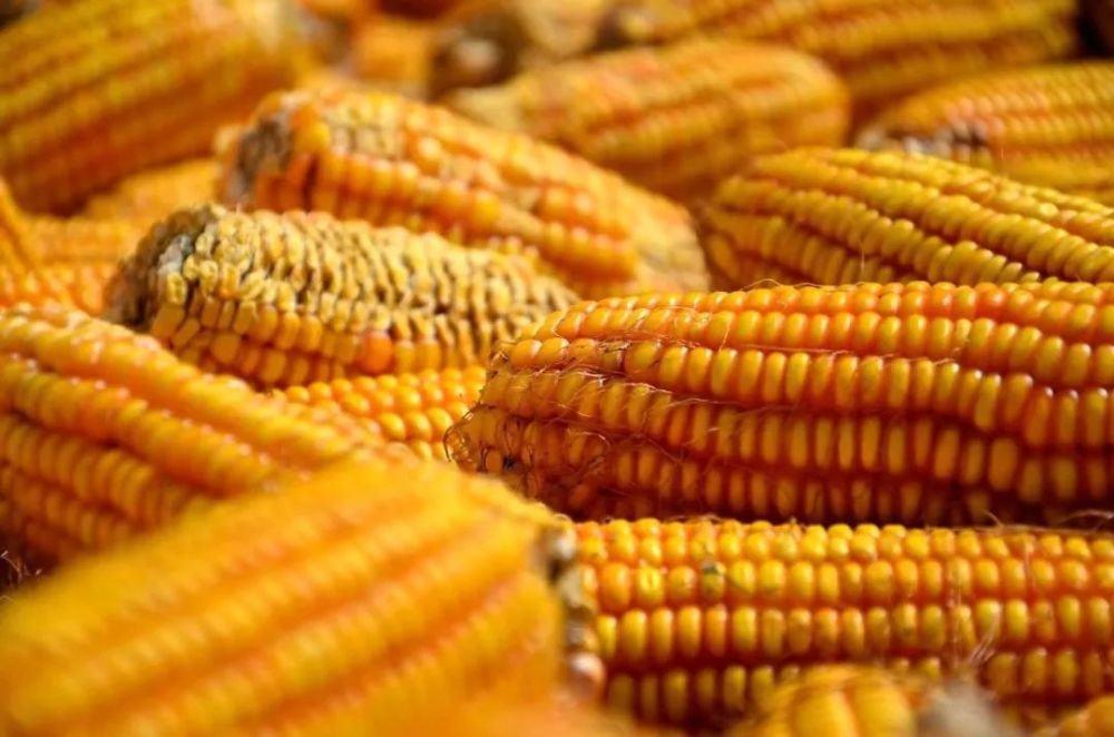 国家发布权威消息:今年玉米价格将稳中有涨!