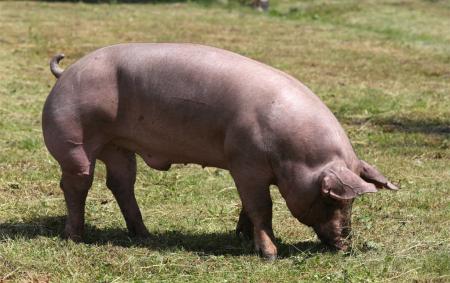 繁育管理:再帅的配种员也不如公猪来的快!