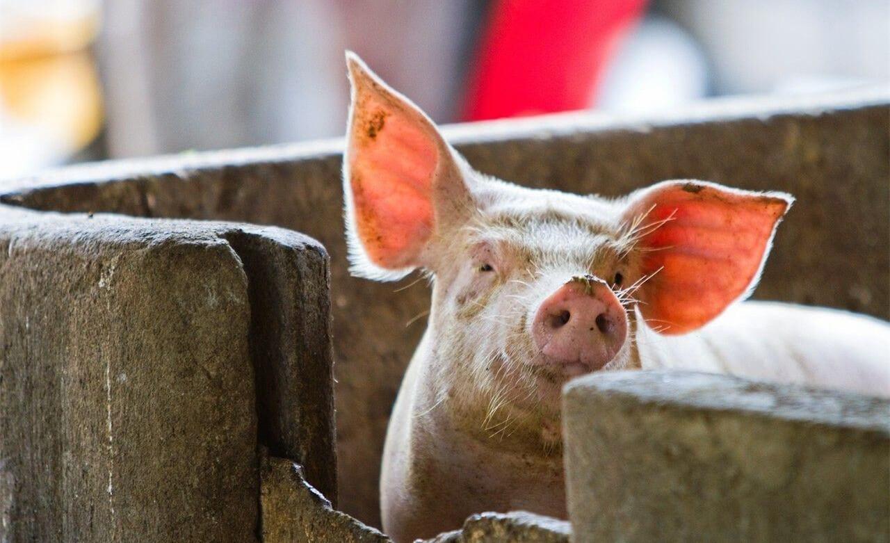 """山东:德州""""二师兄""""涨价 猪肉平均每斤涨3元!"""