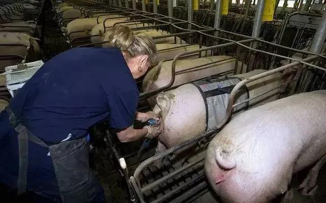 如何应对母猪的繁殖问题?找到根源是关键!