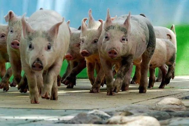 7月9日生猪价格继续上涨,2万吨储备肉来袭,猪价涨势开始放缓